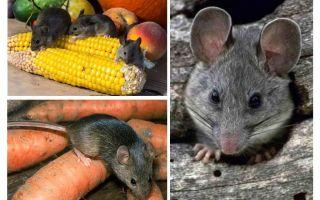 Wie man mit Mäusen im Land und in der Site umgeht