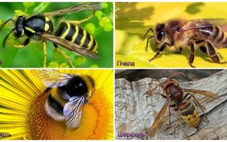 Was ist der Unterschied zwischen Wespe, Biene, Hummel, Hornisse