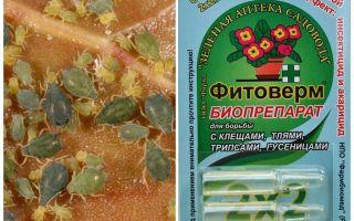 Phytoverm von Blattläusen