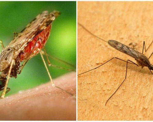 Wie sehen Malariamücken aus und wie gefährlich sind sie für Menschen?