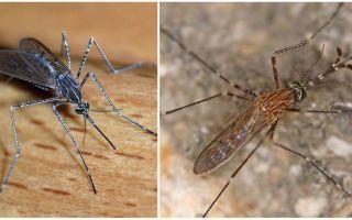 Beschreibung und Fotos von Mückenarten