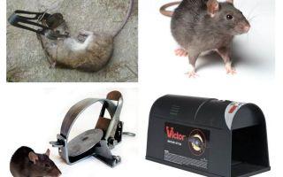 Fallen für Ratten