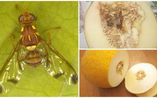Beschreibung einer Melonenfliege und Methoden, um damit umzugehen