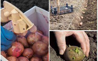 Als vor dem Pflanzen die Kartoffel vom Kartoffelkäfer und Drahtwurm verarbeiten