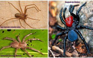 Beschreibung und Fotos der gefährlichsten Spinnen der Welt