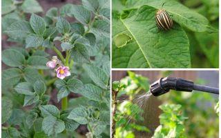 Ist es möglich, Kartoffeln von Kartoffelkäfern während der Blüte zu verarbeiten?