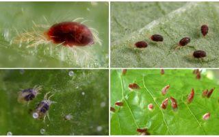 Beschreibung und Foto Spinnmilbe