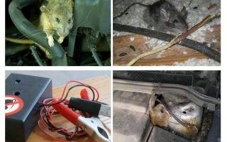 Wie man Ratten unter der Haube eines Autos loswird