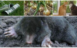 Remedies für Mole in der Sommerhütte und im Garten