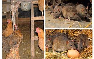 Wie man mit Ratten im Hühnerstall umgeht