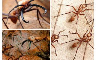 Die gefährlichsten Ameisen der Welt