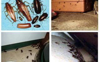 Was erscheinen Kakerlaken im Haus, Omen