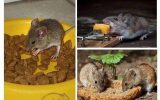 Welcher Köder, um in eine Mausefalle zu legen