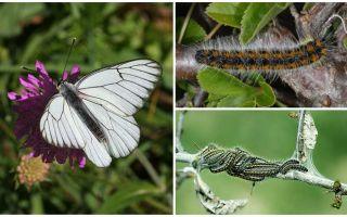 Beschreibung und Foto der Raupe und Schmetterling Hawthorn, wie man kämpft