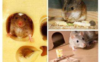 Mäuse essen Käse oder nicht
