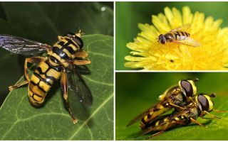Wespe fliegen wie eine Wespe