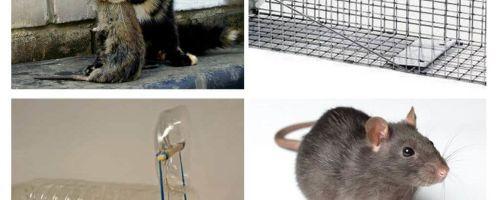 Wie man Ratten aus einem Privathaus holt