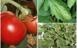 Blattläuse an Tomaten - was zu verarbeiten und wie man kämpft