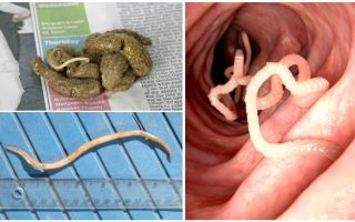 Wie sehen Spulwürmer in menschlichen Fäkalien aus?