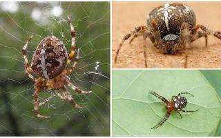 Crusader Spider Beschreibung und Fotos