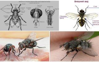Die Struktur der Fliege