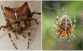 Spider jog: Foto und Effekte nach einem Bissen