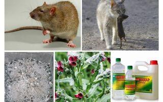 Wie man Ratten aus den Volksheilmitteln der Scheune entfernt