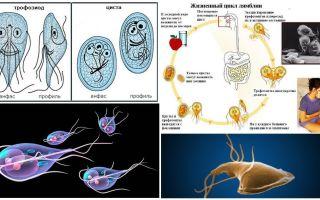 Lebenszyklus von Giardia und Behandlung von Zysten