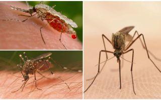 Wie viele Mücken brauchen Sie, um all das Blut zu trinken?