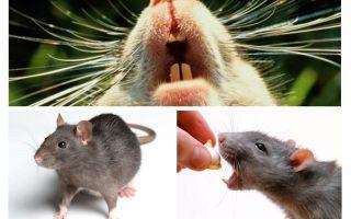 Rattenquietschen