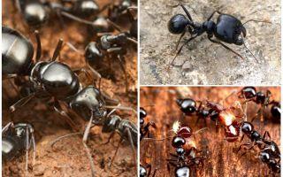 Ameisen Schnitter