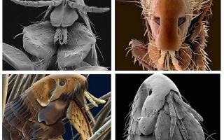 Wie Flöhe auf dem Foto aussehen: ihre Varietäten und strukturellen Merkmale