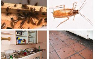Was tun, wenn Sie in der Küche eine Kakerlake gesehen haben?