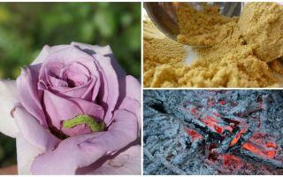 Wie man Rosen von Raupen und Blattläusen besprüht