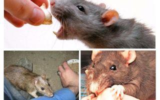 Was tun, wenn eine Ratte gebissen hat?