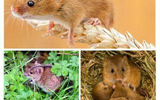 Wo leben Mäuse?