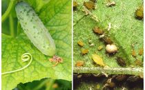 Was und wie man mit Blattläusen auf Gurken in den Gewächshäusern und im geöffneten Feld fertig wird