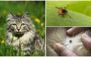 Was zu tun ist und wie man eine Zecke bei einer Katze oder Katze behandelt