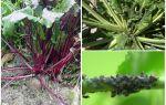 Wie man Blattläuse auf Rüben loswird