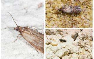 Warum und was zu tun, wenn Maulwurf in Getreide anfing
