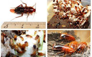 Features Turkmenischen Kakerlaken züchten