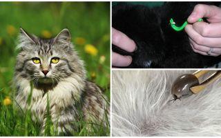 Wie man eine Zecke von einer Katze oder Katze entfernt