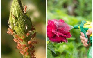 Überprüfung der besten Blattlaus-Medikamente