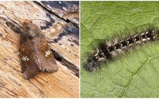 Beschreibung und Foto von Schmetterlingen und Raupen schaufeln, wie man kämpft