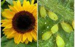 Wie man mit Blattläuse auf Sonnenblume handelt