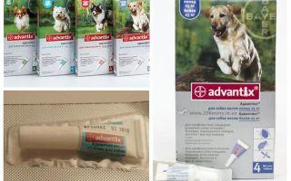 Lässt Advantiks von Flöhen für Hunde ab