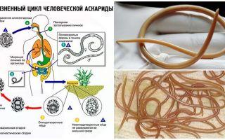 Symptome und Behandlung von Ascariasis bei Erwachsenen