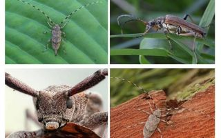 Käfer langnasige graue Barbe