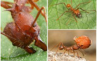 Ameisen atta