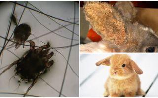Behandlung von Ohrmilben bei Kaninchen